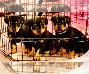 Rottweiler Puppy for Sale in ANGIER, North Carolina USA