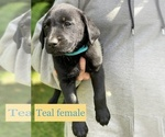 Small Photo #1 Labrador Retriever Puppy For Sale in PINE CITY, MN, USA