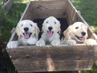 Goldendoodle Puppy For Sale in SANTA ROSA, California,