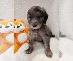 Small #18 Goldendoodle-Sheepadoodle Mix