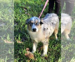 Australian Shepherd Puppy for sale in JACKSONVILLE, FL, USA
