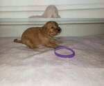 Small Photo #3 Goldendoodle Puppy For Sale in FROSTPROOF, FL, USA