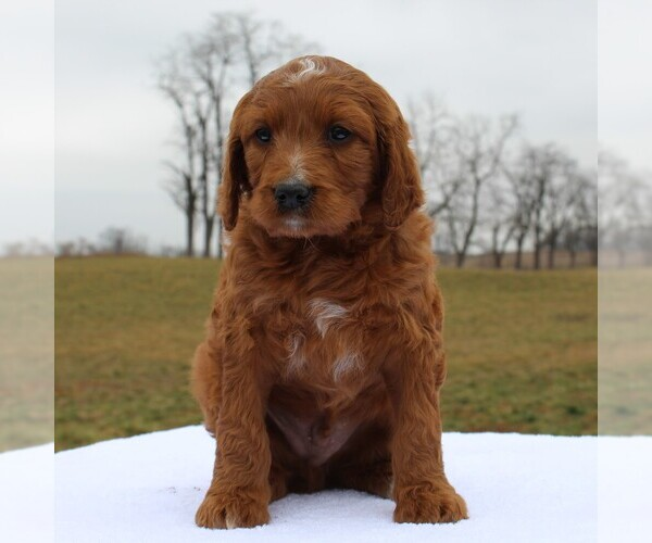 Medium Photo #5 Irish Doodle Puppy For Sale in GREENCASTLE, PA, USA