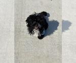 Small #7 Pekingese-Poodle (Toy) Mix