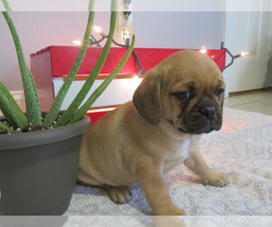 Puggle Puppy for Sale in MOUNT SOLON, Virginia USA