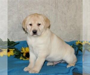 Shepradors Puppy for sale in STRASBURG, PA, USA