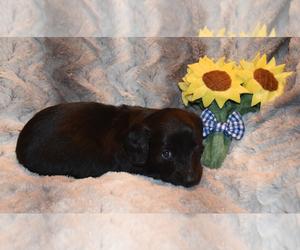 Dachshund Puppy for Sale in BENTON, Arkansas USA