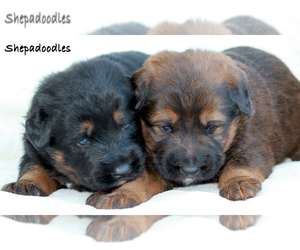 Shepadoodle Puppy for Sale in HEMET, California USA