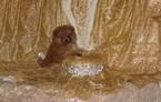 Pomeranian Puppy For Sale in BONHAM, TX,