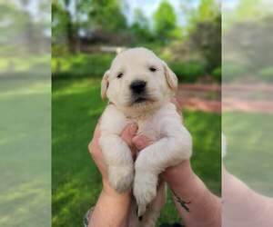 Goldendoodle Puppy for sale in CASHTON, WI, USA