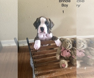 Boxer Puppy for Sale in HORSE CAVE, Kentucky USA