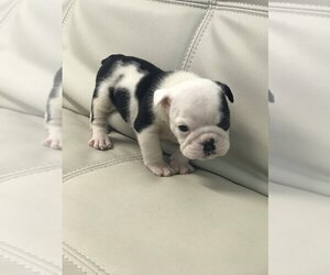 Bulldog Dog for Adoption in GOLDEN ISLES, Florida USA