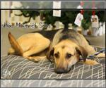 Small #731 German Shepherd Dog Mix
