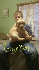 Golden Retriever Puppy for sale in BUNCH, OK, USA