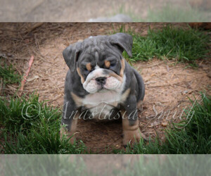 English Bulldog Puppy for sale in CARY, NC, USA