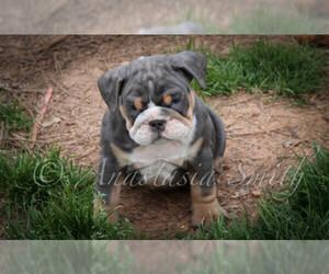 View Ad English Bulldog Puppy For Sale Near North Carolina Cary