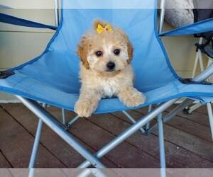 Maltipoo Puppy for Sale in SANTA CLARITA, California USA