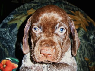 AKC German Shorthaired Pointer Puppy Ruger