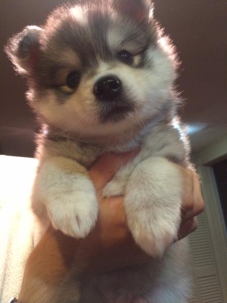 View Ad Alaskan Klee Kai Puppy For Sale New Jersey Oak