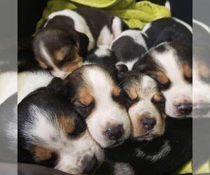 Beagle Puppy for sale in SILEX, MO, USA