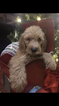 Puppy 8 Poodle (Standard)-Spinone Italiano Mix