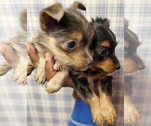 Chorkie-Yorkshire Terrier Mix Puppy for sale in PHILADELPHIA, PA, USA