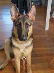 German Shepherd Dog Puppy for sale in S PASADENA, CA, USA