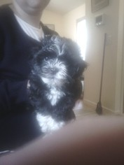 Havanese Puppy For Sale in ELKTON, MD