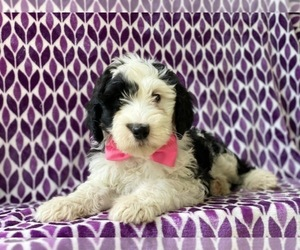 Sheepadoodle Puppy for sale in LANCASTER, PA, USA