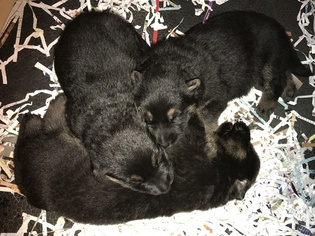German Shepherd Dog Puppy For Sale in LINCOLN, NE