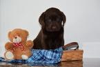 Labrador Retriever-Unknown Mix Puppy For Sale in FREDERICKSBURG, OH, USA