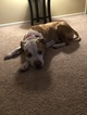 2 year old female Pitbull dog