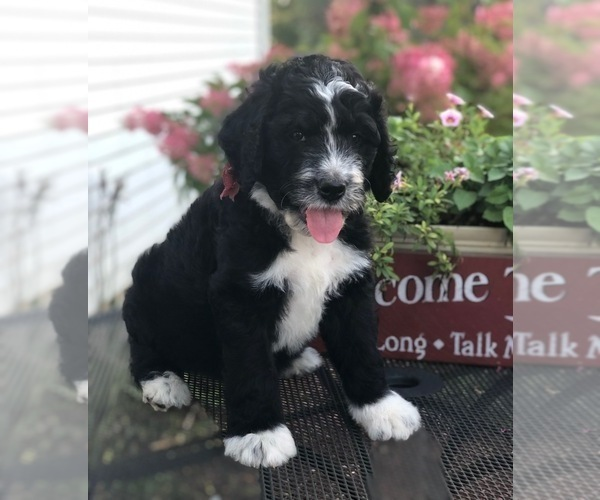 Puppyfindercom View Ad Photo 35 Of Listing Bernedoodle