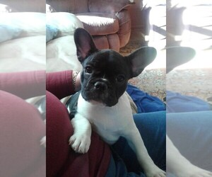 French Bulldog Puppy for sale in GASTONIA, NC, USA