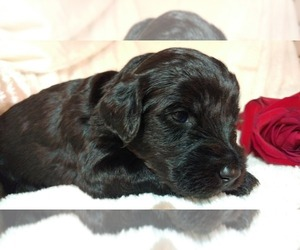 Poodle (Miniature)-Soft Coated Wheaten Terrier Mix Puppy for Sale in PEORIA, Illinois USA