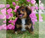 Small #6 Bernese Mountain Dog-Poodle (Toy) Mix