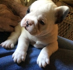 French Bulldog Puppy For Sale in WALWORTH, NY, USA