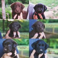 Labrador Retriever Puppy For Sale in MONROE, GA