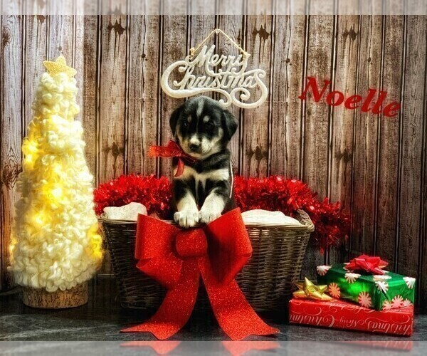 Medium Photo #4 Goberian Puppy For Sale in BRINKHAVEN, OH, USA