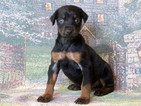 Doberman Pinscher Puppy For Sale in MOUNT JOY, PA, USA