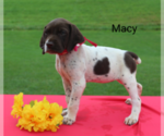 German Shorthaired Pointer Puppy For Sale in RAGERSVILLE, OH, USA