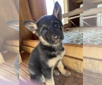 Puppy 6 German Shepherd Dog