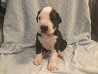 Great Dane Puppy For Sale in VACAVILLE, California,