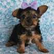 Yorkshire Terrier Puppy For Sale in LEXINGTON PARK, MD, USA
