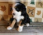 Small #2 Miniature Bernedoodle