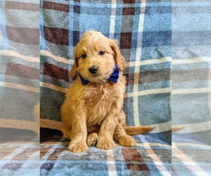 Goldendoodle-Poodle (Miniature) Mix Puppy for sale in NEW PROVIDENCE, PA, USA