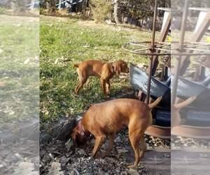 Vizsla Puppy for sale in GRAND ISLAND, NE, USA