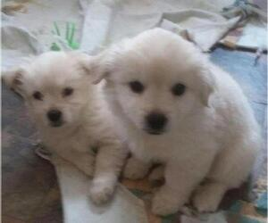 American Eskimo Dog (Toy)-Lhasa Apso Mix Puppy for Sale in MONTGOMERY CREEK, California USA