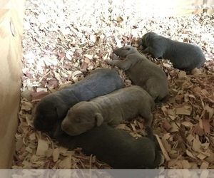 Weimaraner Puppy for sale in HEMLOCK, MI, USA