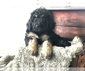 Bernedoodle Puppy for Sale in NATURAL BRG, Virginia USA